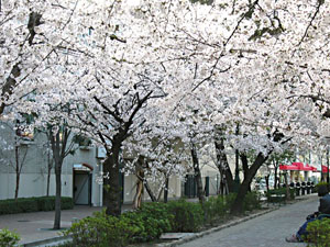 the cherry blossom in the parks and streets
